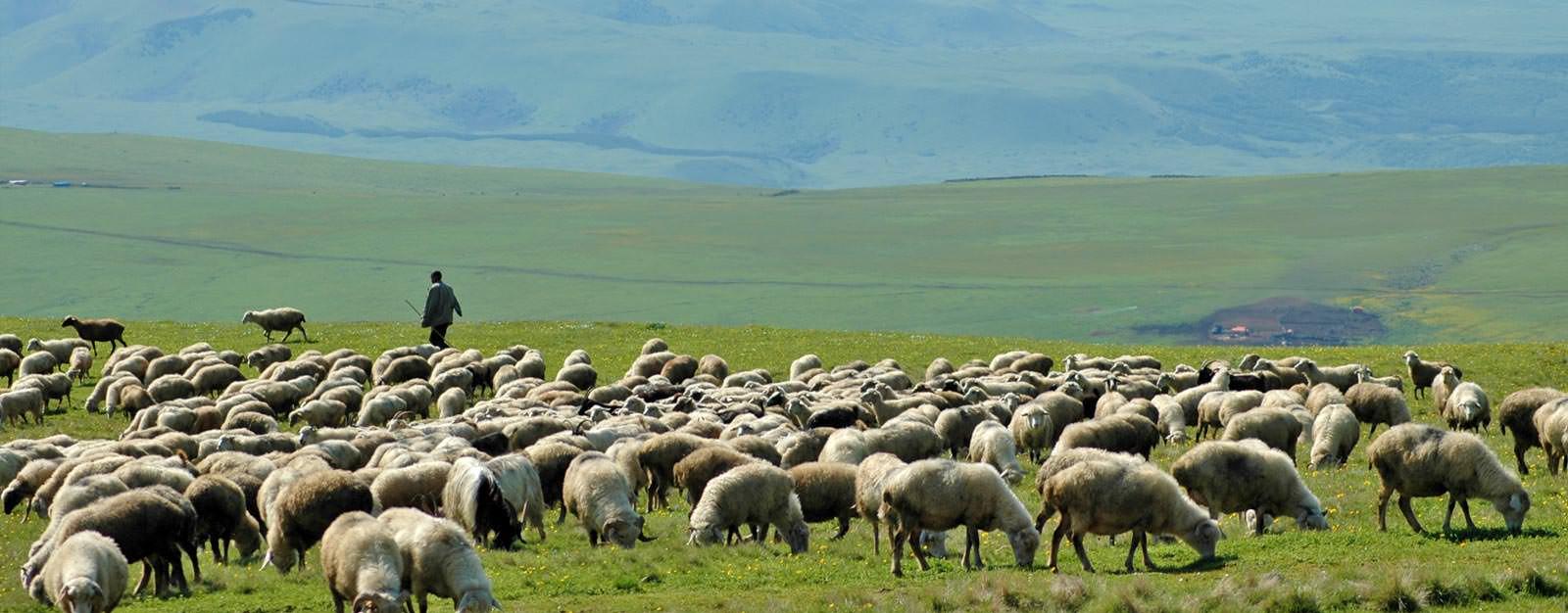גאורגיה - כבשים גאורגיות בקווקז הנמוך